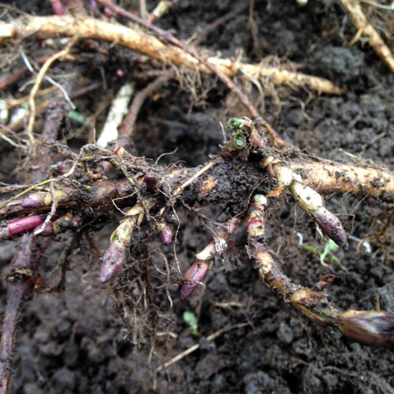 Left Fields Rhizomes