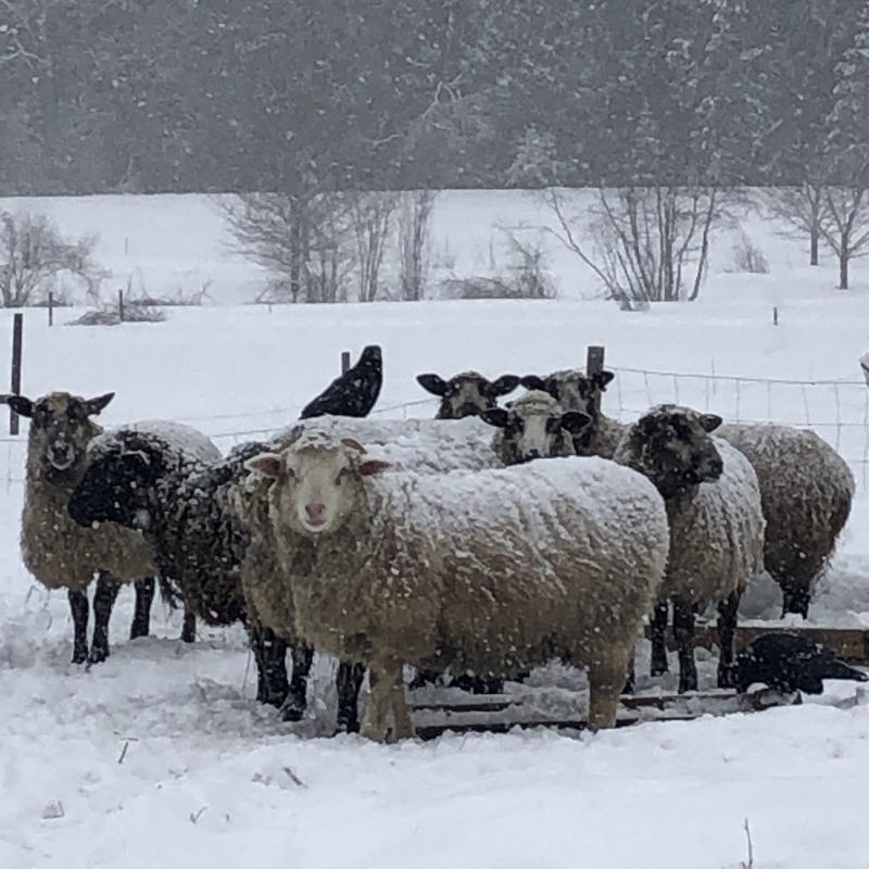 Left Fields Sheep in the snow